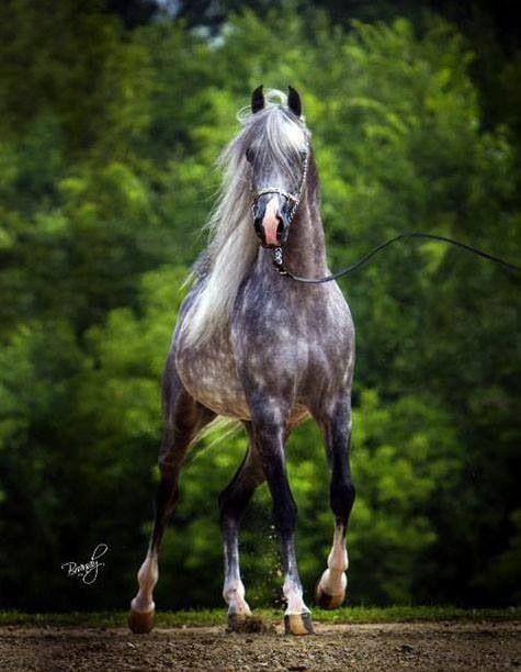 Arabian, Master Jullyen V from the cover of Arabian Horse Times. Dappled Gray Beauty!                                                                                                                                                      More