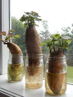 Starting sweet potatoes.