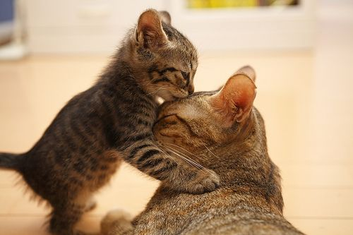 A mother and her kitten: Forehead Kiss, A Kiss, Akiss, Kitty Cat, Mothers Day, Funny Cat, Baby Kittens, Love You Mom, Baby Animal