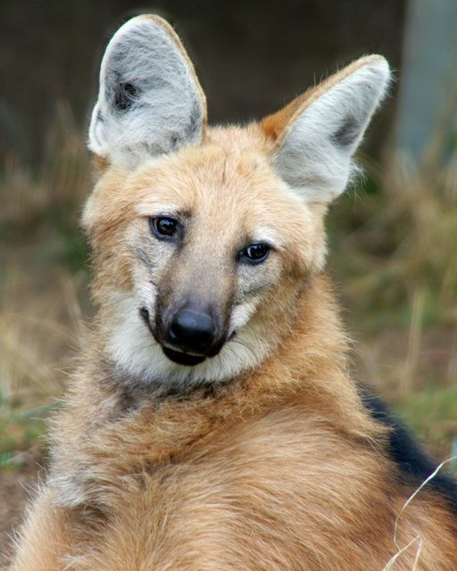 Maned Wolf by Penny Hyde, via Flickr