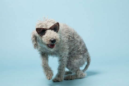 Wilfred the Bedlington Terrier in Avenue32's dog-filled accessories spread, Fashion Unleashed.
