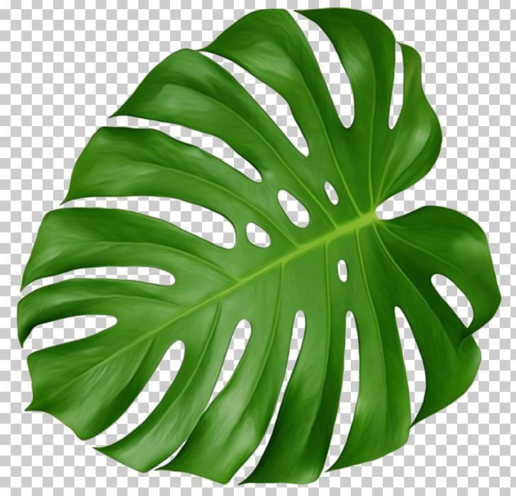 Swiss Cheese Plant Leaf Houseplant Plant Leaves Png Arecaceae Breadfruit Flowers Green Houseplant Cheese Plant Plant Leaves Leaf Illustration