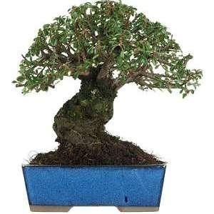 25 best ideas about cotoneaster bonsai on pinterest. Black Bedroom Furniture Sets. Home Design Ideas