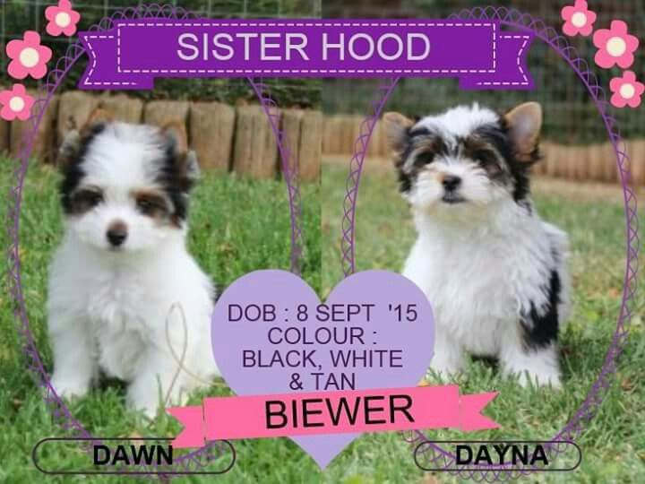 Biewer Females Available