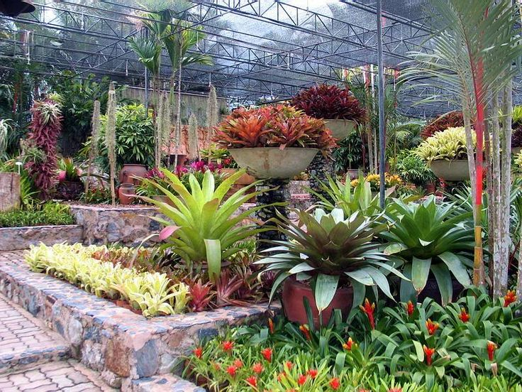 17 best images about buy bromeliad guzmania and aechmea for Plants for outdoor garden
