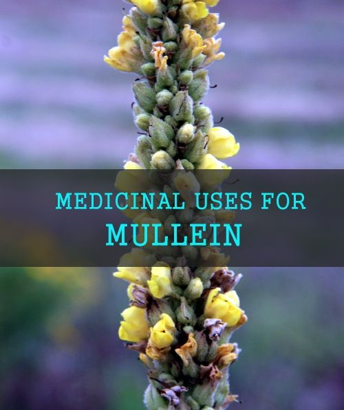 mf_taliesin-mullein-file0001452827250sm