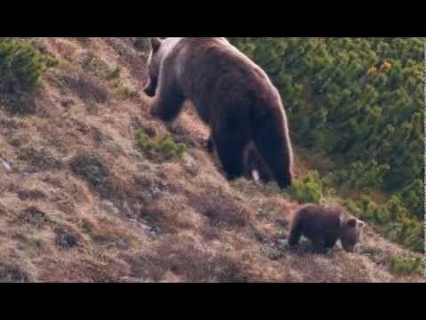 Strážca divočiny - Medvede v Tatrách SK - YouTube
