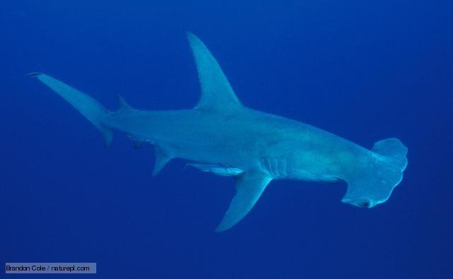 Portrait of a great hammerhead shark