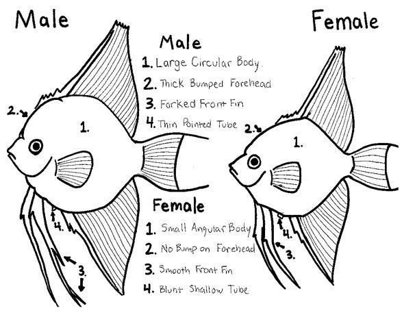 Female vagina and male penis-8645