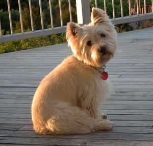 "This is the Cairn Terrier ""Pooh Bear"" pose. Gatsby sits like this daily."