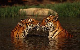 India's tiger population has significantly increased according to the 2014-15 India tiger estimation report