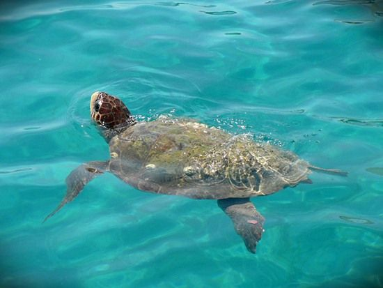 Caretta-Caretta sea turtle / Zante island