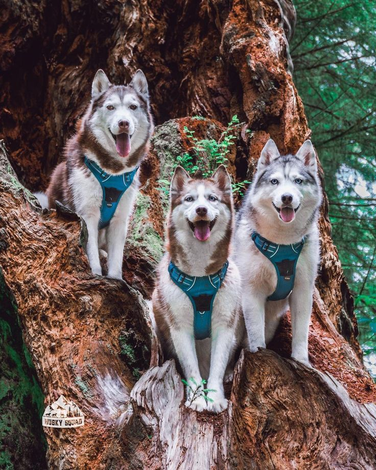 Best Husky Images On Pinterest Siberian Huskies Huskies - Guy quits his job to go on epic adventures with his husky