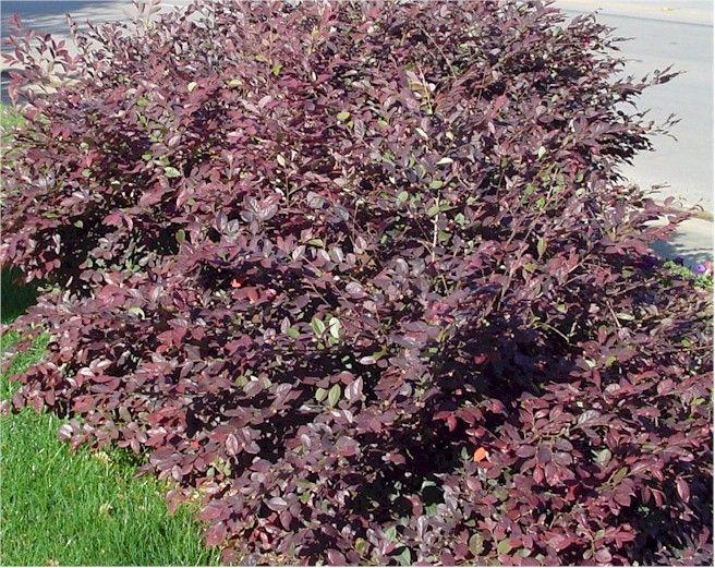 Loropetalum Purple Dwarf Shrub Green To Burgundy Leaves Pink Flowers In Spring