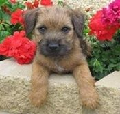 Border Terrier are the best
