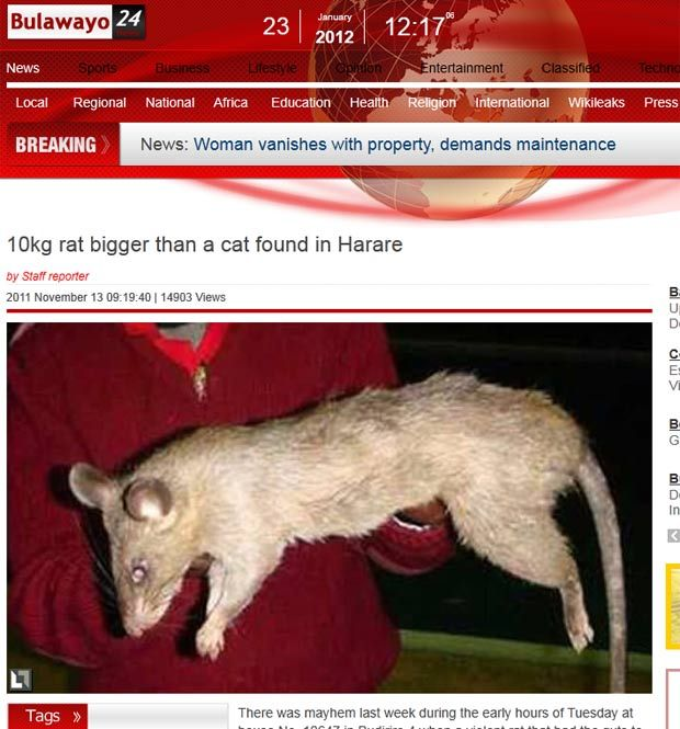 'Rato monstro'. ASSUSTADOR...sendo maior do que um gato. 'Na minha vida nunca vi um rato tão enorme'...