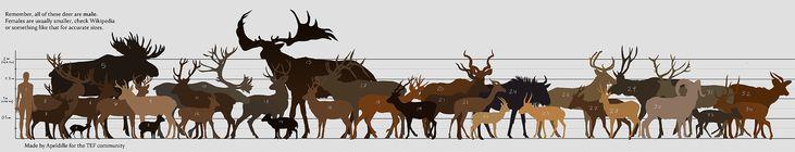 2. TEF Deer* 4. Mouse Deer*** 5. Moose (European Elk) 6. Fallow Deer 7. Whitetail Deer 8. Pudú 9. Pronghorn 10. Reindeer/caribou 11. Red Deer 12. Roe Deer 13. Mule Deer 14. Muntjac**** 15. Megaloceros giganteus/Irish Elk 16. Shika 17. Elk 18. Marsh Deer 19. Blackbuck 20. Greater Kudu 21. Lesser Kudu 22. Gerenuk 23. Thomson's Gazelle 24. Blue Wildebeest/Gnu 25. Saiga antelope 26. Eld's Deer 27. Hog Deer 28. Pampas Deer 29. Sambar Deer 30. Bighorn