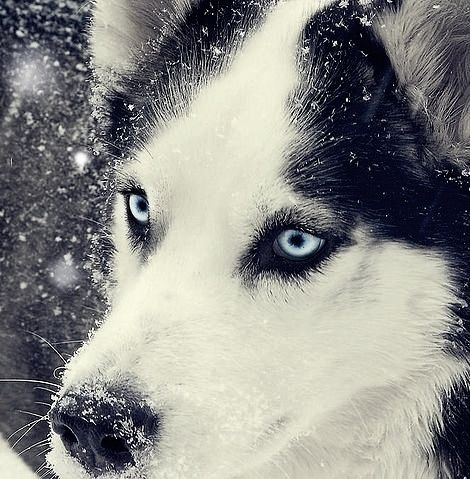 Beautiful Husky <3Puppies, Siberian Husky, Snow, Inspiration Pictures, Blue Eye, Husky Eye, Husky Dogs, Beautiful Dogs, Animal