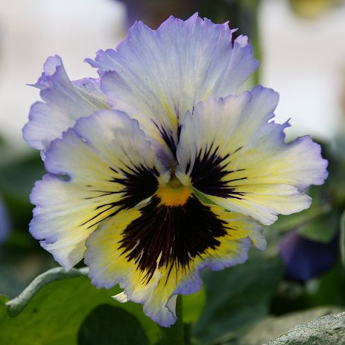 Pansy | Pansy Flower Pictures & Meanings - Purple Pansy Flowers