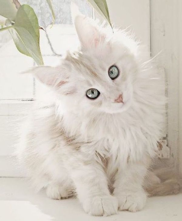 White Maine Coon – 16th March 2015                                                                                                                                                                                 More