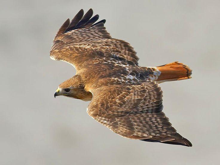 Un faucon à queue rouge a trouvé refuge à Central Park. Pale Male, baptisé en raison de ses inhabituelles couleurs pastel, est arrivé en ville en 1991 et s'y est installé pour de bon.