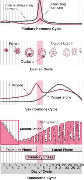 Female reproductive cycle- easy to read chart!!!!