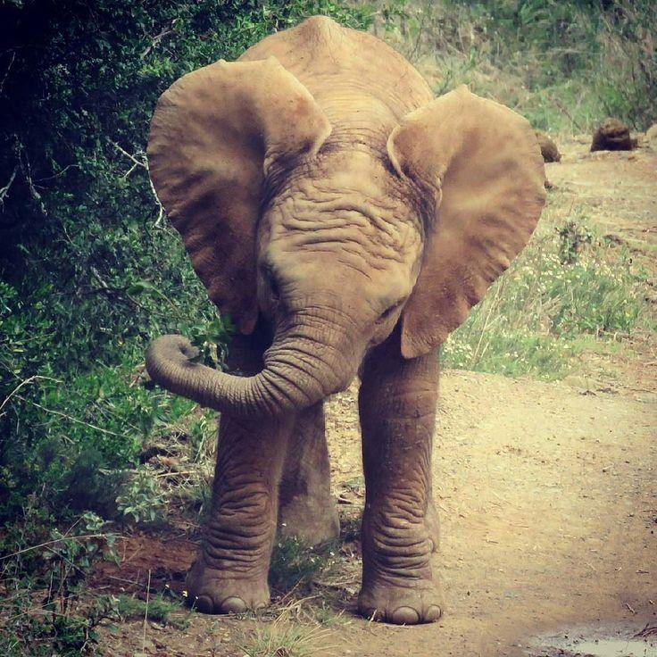 Adorable bebe;  son tan lindas sus patitas Credit : @jarrettjoubert -  A young elephant breaks off a small thorny snack enjoying those greens! Good to be back. . #elephant #elephants #elephantlove