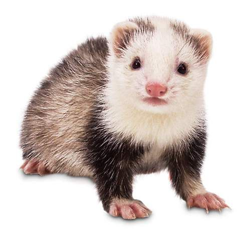 Ferrets are incredibly social & intelligent mammals that can easily be taught tricks just like a dog. Come see live pet ferrets for sale at a Petco near you.
