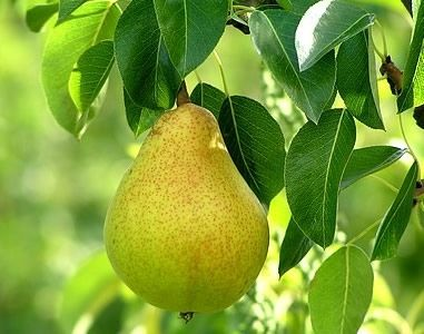 How to Grow Pear Trees from Pear Seeds