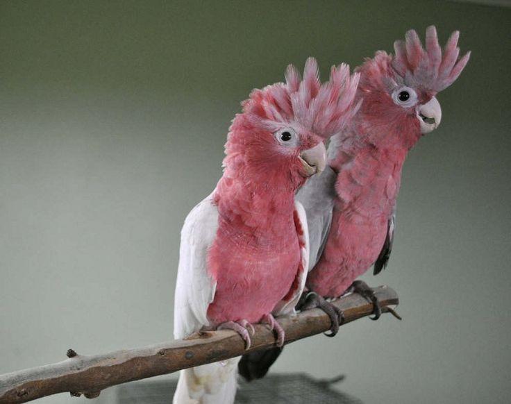 Galah Cockatoos.