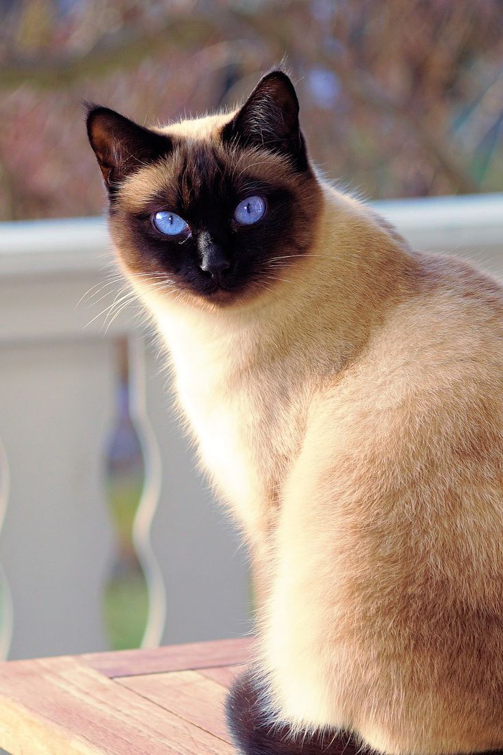 A cute siamese cat with awesome eyes cute siamese cat