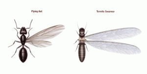 Winged Ant or Termite Swarmer?
