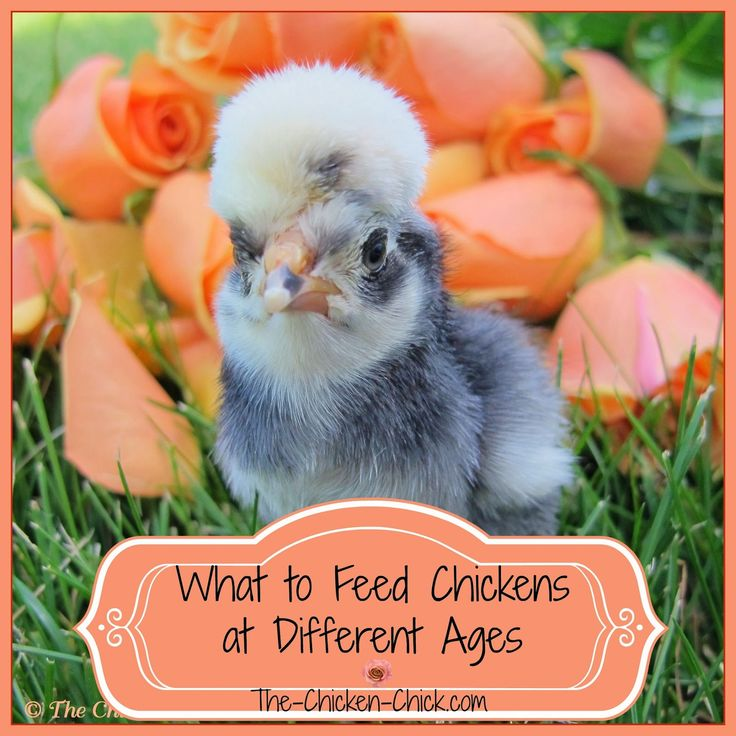 Chickens at different stages of development require different feed formulations.