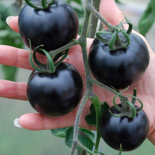 Black tomatoes were first bred by Professor Jim Myers at the University of Oregon, and because they're rich in anthocyanins, are the latest superfood.