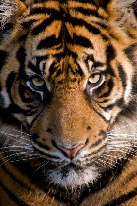 Siberian tiger.....truly a beautiful amazing cat. Stunning eyes♥