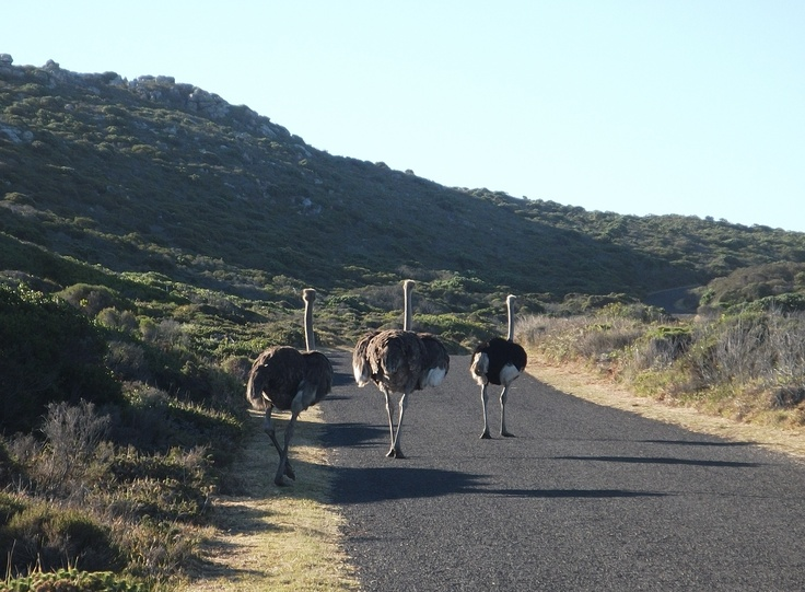 Ostrich, Cape Point National Park, Cape Town, South Africa