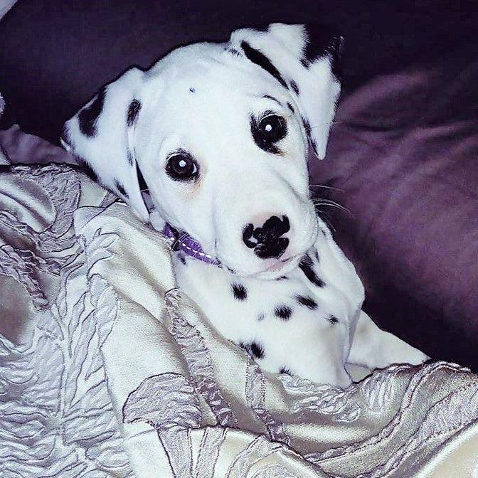Dalmatian Puppies Breeders For Sale Alberta Canada