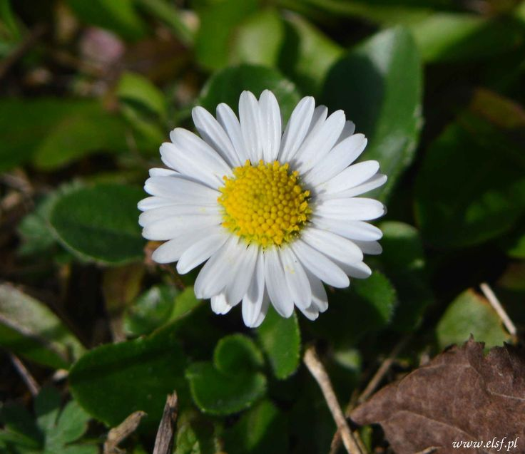 "Stokrotka,+Daisy+(Bellis+perennis)...+(from+<a+href=""http://elsf.pl/picture.php?/119/category/1"">Luźna+sztuka+fotografii...</a>)"