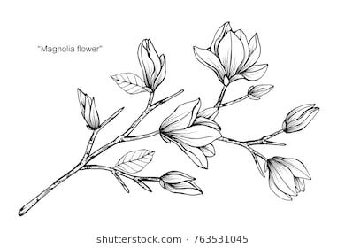 Magnolia flower drawing and sketch with black and white line-art. – Samantha Lanham