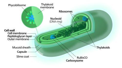 Cyanobacteria - Wikipedia