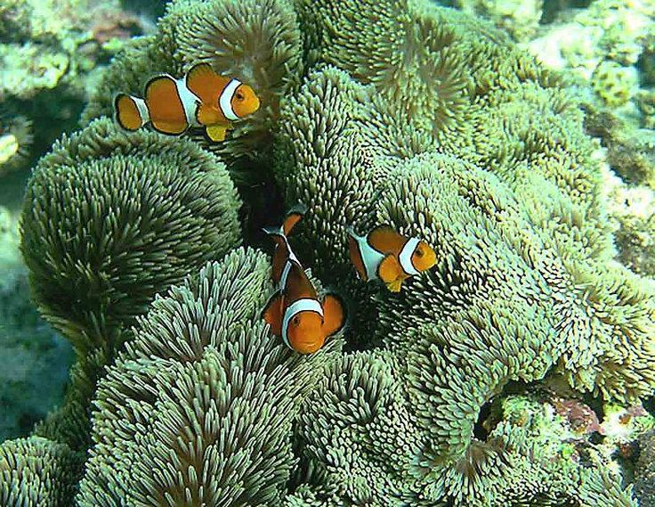 sea anemones and anemonefish a symbiotic relationship where both organisms