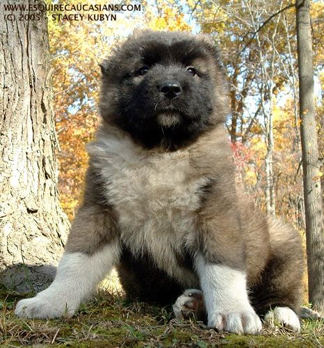 Russian caucasian caucasian mountain dogs and mountain dogs on