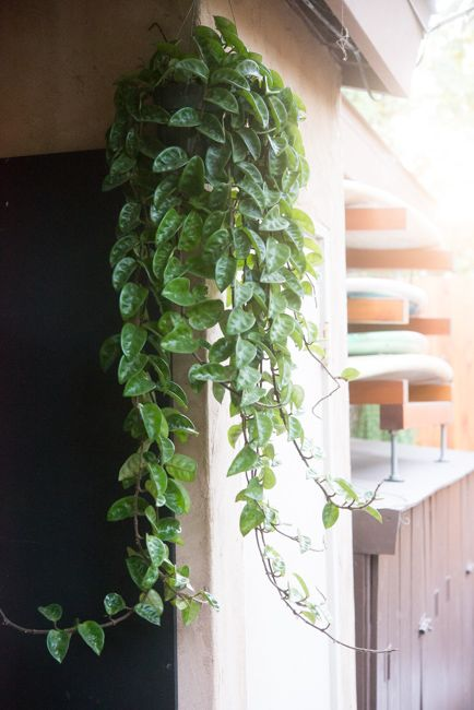 How to care for a hoya carnosa 39 krinkle 8 39 gardening for Low maintenance indoor hanging plants