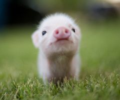 80 Best Images About Baby Pigs Mini Pigs And Teacup Pigs
