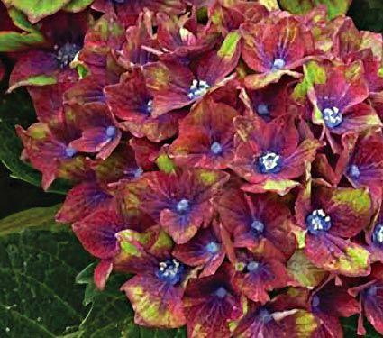 NEW! Hydrangea macrophylla Pistachio - White Flower Farm