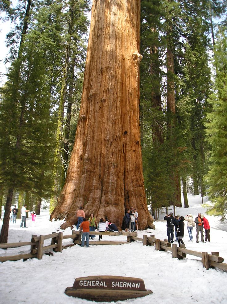 General Sherman - giant redwood in US