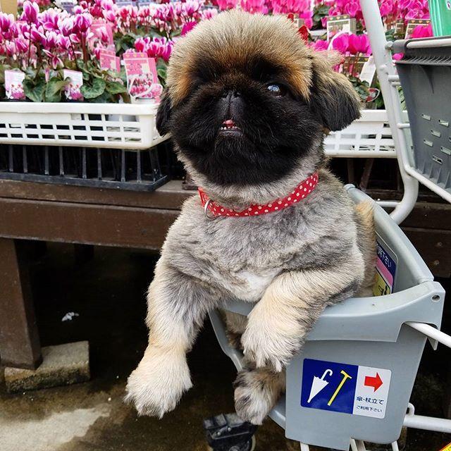 花っていいなぁ🌼🌼🌼 ポカ~~~ン💘🐤🐤🐤 #ショッピングカート #shoppingcart #頭の中はお花畑 #しがトコ  #植物と暮らす  #植物にに触れる #植物のある暮らし  #お花屋さん  #大好きな園芸店 #植物 #愛犬 #愛猫 #lovepet #lovedog #petdog #lovecat #petcat #pet #mypet #ポカ~ン #prince #プリンス #プリンセス #princess #花が好き #花が好きな人と繋がりたい #写真好きな人と繋がりたい #ファインダー越しの私の世界