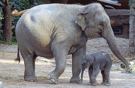 Elefante Asiático, Animales Jóvenes