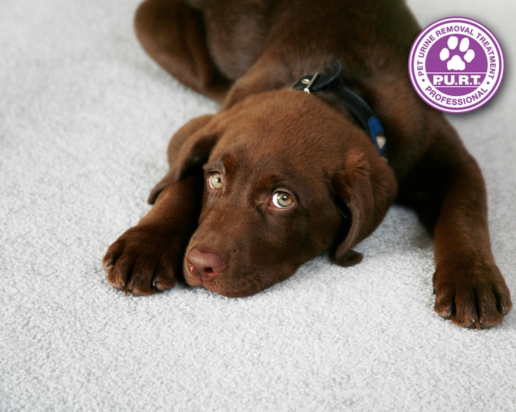 Don't let pet stains ruin your carpet & furniture. Call 1-800-Chem-Dry today!