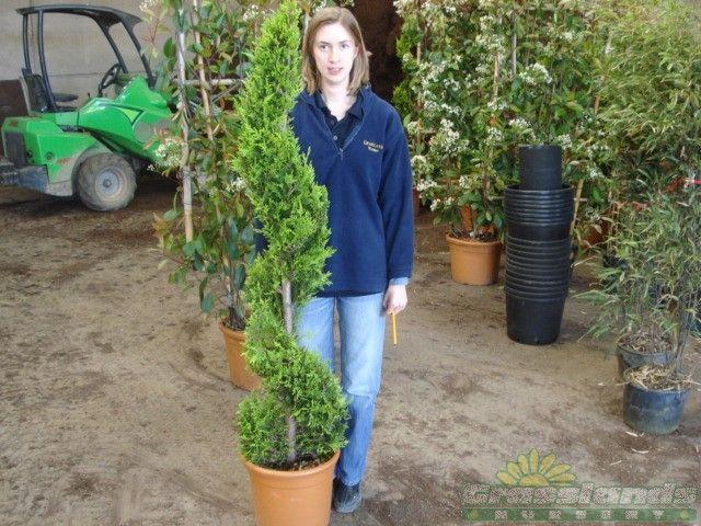 Cupressus Castlewellan Spiral 18 Litre Pot 140-150cm